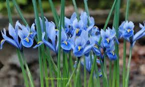 Blue Iriscrack